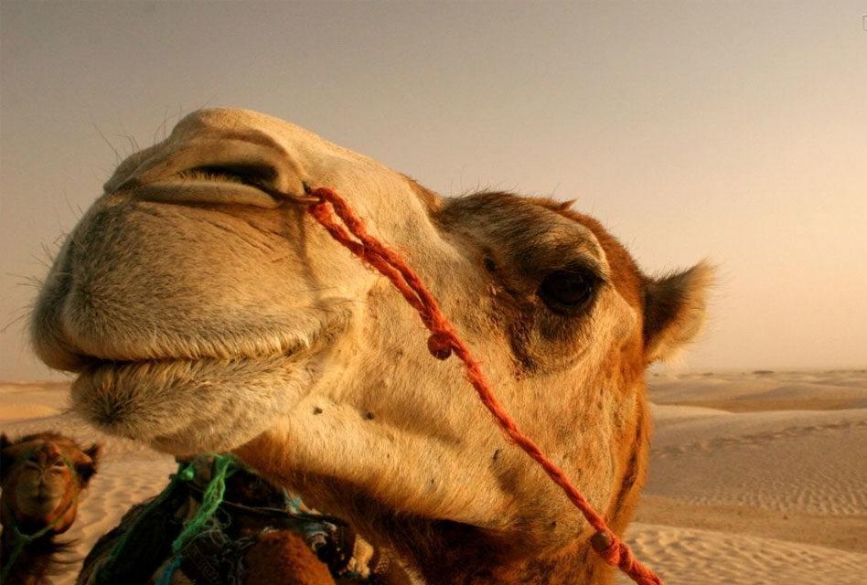 """Origem da palavra """"Camelo"""" e """"Camelô"""""""