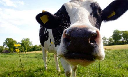 """Qual é a origem da expressão """"nem que a vaca tussa""""?"""