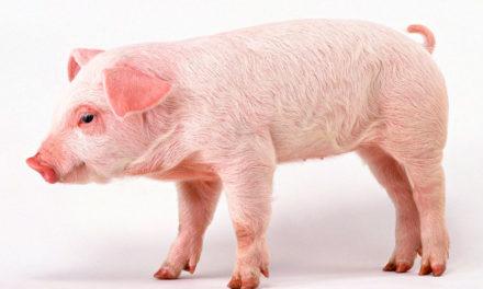 """Qual a origem da expressão """"agora é que a porca torce o rabo""""?"""